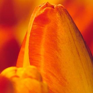 Bouquet Tulipes Orange