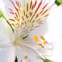 Bouquet d'Alstroemeria blanc
