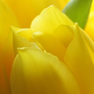 Bouquet Tulipes Jaune